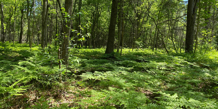 Dense forest testing ground in Michigan for goTenna Pro X range test for heavy canopy